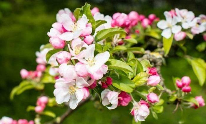 Takıntıların çiçekleri; crap apple (Yengeç elması çiçeği)