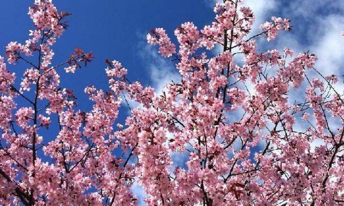 Ağaçların çiçekleri en güçlü şifacılardır – Ayşegül Savaş