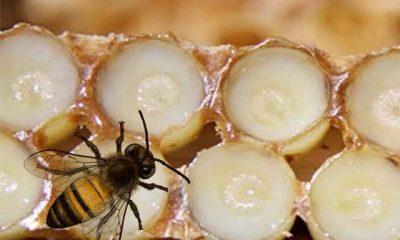 Arı sütü nedir Arı sütünün faydaları nelerdir Arı sütü hangi hastalıklara iyi gelir